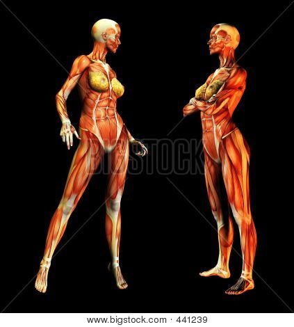 Picture or Photo of This is an anatomical set of skinless women.