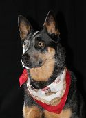 foto of cattle dog  - Australian Cattle Dog  - JPG