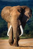 foto of tusks  - Elephant with large teeth approaching  - JPG