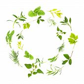 pic of hyssop  - Herb leaf circles of lemon balm golden marjoram sage feverfew mint tarragon bergamot lavender variegated sage hyssop over white background - JPG