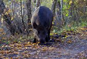 picture of razorback  - Wild boar foraging in forest in Poland - JPG