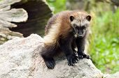 foto of wolverine  - The wolverine glutton carcajou skunk bear or quickhatch - JPG