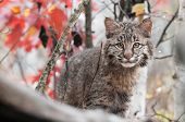 stock photo of bobcat  - Bobcat Kitten (Lynx rufus) Peers Over a tree branch  ** Note: Shallow depth of field - JPG