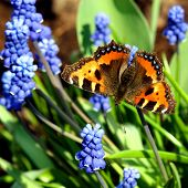 picture of butterfly-bush  - spring flowers in my garden - JPG
