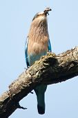 stock photo of grub  - Indian roller swallowing a grub or insect - JPG