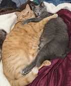 image of blue tabby  - Cat best friends hugging on bed - JPG