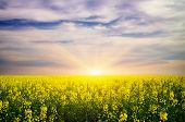 picture of rape-field  - Beautiful landscape - JPG