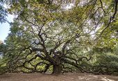 immense spreading live oak tree