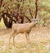 a wild indigenous male (buck) Black-tailed deer (odocoilus Hemionus) in California