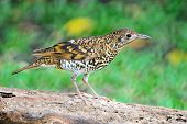 foto of brown thrush  - Beautiful black - JPG