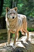 stock photo of north american gray wolf  - Gray wolf  - JPG