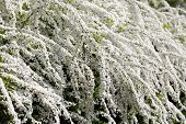 picture of meadowsweet  - spiraea shrub with white flowers in spring - JPG