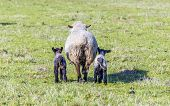 stock photo of spring lambs  - Spring pasture with a sheep and two lambs