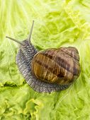 stock photo of hermaphrodite  - Burgundy snail eating a lettuce leaf - JPG
