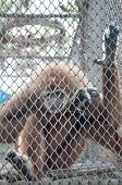 foto of animal cruelty  - Sad gibbon behind cage show animal in zoo - JPG