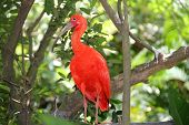 picture of long-legged-birds  - Bright red bird looking like a hern with long legs neck and beak. Kuala Lumpur birds park.