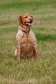 picture of epagneul  - Brittany Spaniel  - JPG