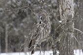 foto of snow owl  - A Great Grey Owl sits in a tree during a snow storm  - JPG