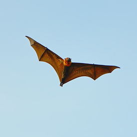 picture of vampire bat  - Large Bat, Hanging Flying Fox (Pteropus vampyrus) in blue sky background