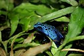 stock photo of dart frog  - a blue poison dart frogs in a terrarium - JPG