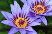stock photo of raindrops  - Water Lily flowers with raindrop - JPG
