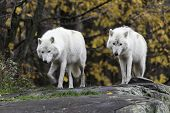 picture of horrific  - Arctic Wolf in a forested, fall wilderness