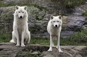 image of wolf-dog  - A pair of Arctic Wolves resting in a green field - JPG