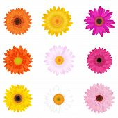 stock photo of gerbera daisy  - Colorful Vector Daisies Or Gerbers - JPG