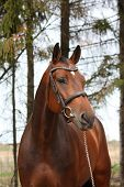 stock photo of bridle  - Bay holsteiner breed horse portrait with bridle