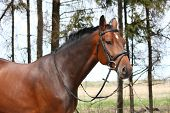 pic of bridle  - Bay holsteiner breed horse portrait with bridle