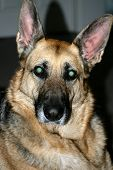 picture of dog eye  - closeup of face and ears of black and tan german sheppard with glowing eyes - JPG