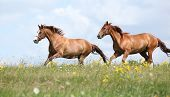 picture of chestnut horse  - Two chestnut horses running together on meadow - JPG