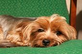 pic of lap  - Lap dog portrait lying on green armchair and looking at camera - JPG