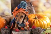foto of hound dog  - dachshund dog knitted hat and scarf - JPG