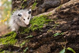 stock photo of opossum  - A Baby Opossum climbing on a mossy log - JPG