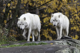 foto of horrific  - Arctic Wolf in a forested, fall wilderness ** Note: Soft Focus at 100%, best at smaller sizes - JPG
