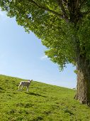 foto of spring lambs  - Spring image of a young lamb on a green meadow