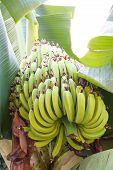 stock photo of banana tree  - Green banana trees and fruits - JPG