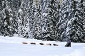 stock photo of sled-dog  - Dog sledding in the wood  - JPG