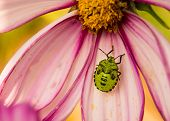 image of shield-bug  - A green stink bug with black markings resting on a pink flower - JPG