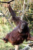 stock photo of orangutan  - Orangutan posing on slack rope at zoo - JPG