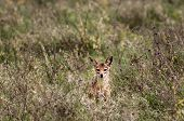 foto of jackal  - A Jackal sitting in the grass in the distance stairing out in front of him - JPG