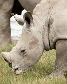 pic of blood drive  - A young White Rhinocores grazes on the succulent grass near his mother - JPG