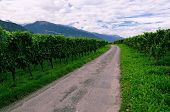pic of husbandry  - Road through a Late Summer Vineyard in Rhine Valley (Graub�nden, Switzerland), with Grapes Ripening
