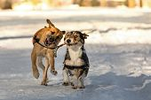 picture of divine  - Two dogs running through the snow with a branch in its mouth that looks like a divining rod - JPG