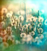 image of dandelion seed  - Dandelion   - JPG