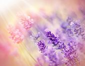 stock photo of lavender plant  - Beautiful lavender flower in my flower garden lit by sunbeams - JPG