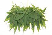 stock photo of cannabis  - Many Hemp  - JPG