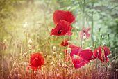 foto of poppy flower  - Poppy flowers (wild poppy) in meadow closeup ** Note: Shallow depth of field - JPG