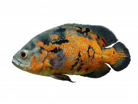 picture of freshwater fish  - Oscar Fish  - JPG